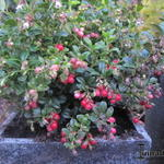 Vaccinium vitis-idaea 'Miss Cherry' - Vaccinium vitis-idaea 'Miss Cherry' - Vossenbes, rode bosbes