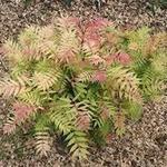 Sorbaria sorbifolia 'Sem' - Sorbaria sorbifolia 'Sem' - Lijsterbesspirea