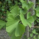 Japanse notenboom - Ginkgo biloba