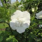 Althaeastruik - Hibiscus syriacus 'White CHIFFON'
