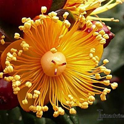 Hypericum 'Magical Beauty' -