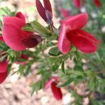 Cytisus scoparius 'Boskoop Ruby' - Cytisus scoparius 'Boskoop Ruby' - Brem
