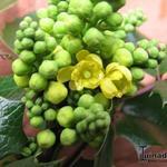 Mahonia aquifolium 'Smaragd' - Mahonia aquifolium 'Smaragd' - Mahoniestruik
