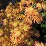 Acer palmatum 'Orange Dream' - Acer palmatum 'Orange Dream' - Japanse esdoorn