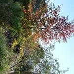 Liquidambar styraciflua 'Lane Roberts' - Liquidambar styraciflua 'Lane Roberts' - Amberboom, Vloeiend amber