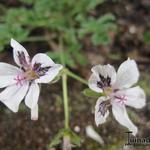 Erodium petraeum ssp. crispum 'Stephanie' - Erodium petraeum ssp. crispum 'Stephanie' - Reigersbek