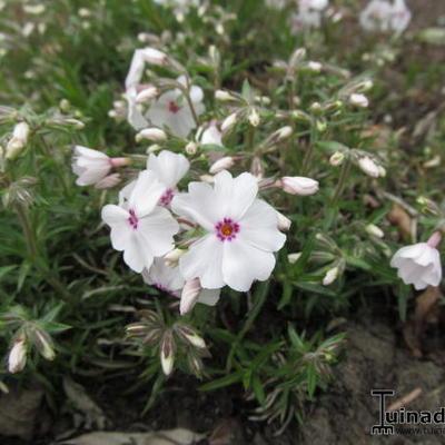 Phlox subulata 'Amazing Grace' - Kruipphlox - Phlox subulata 'Amazing Grace'