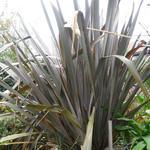 Phormium tenax 'Purpureum'  - Nieuw Zeelands vlas - Phormium tenax 'Purpureum'