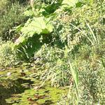 Wilde gagel - Myrica gale
