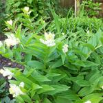 Maianthemum racemosum   - Valse salomonszegel - Maianthemum racemosum
