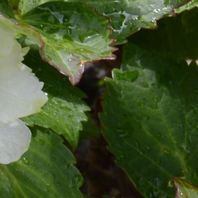 Hydrangea macrophylla 'Nymphe' -