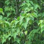 Acer davidii 'Purple Bark' - Acer davidii 'Purple Bark' - Slangenhuidesdoorn