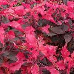 Amaranthus tricolor 'Molten Fire' - Amaranthus tricolor 'Molten Fire' - kattenstaart / olifantenhoofd / rode klaroen