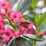 Escallonia - Escallonia rubra var. macrantha