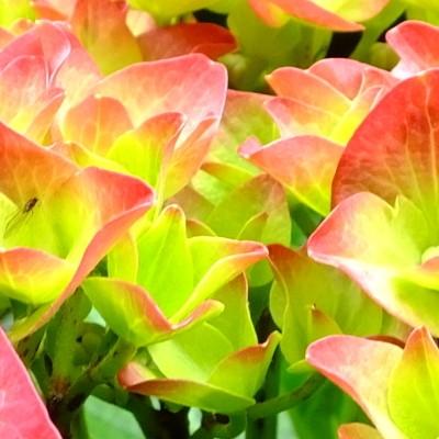 Hydrangea macrophylla 'Green Shadow' -