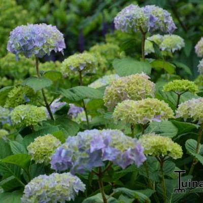 Hydrangea macrophylla  'Bouquet Rose' -