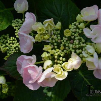 Hydrangea macrophylla 'Hobella' -