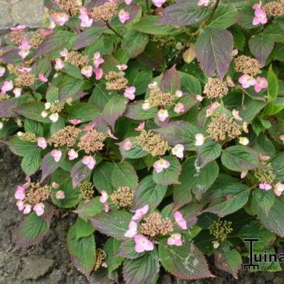 Hydrangea  serrata  'Spreading Beauty' -