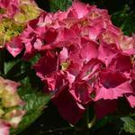 Hortensia, Bolhortensia - Hydrangea macrophylla 'Masja'