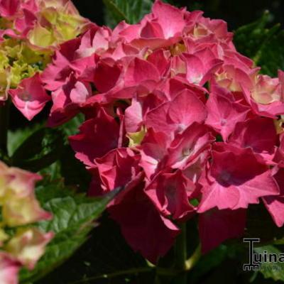 Hydrangea macrophylla 'Masja' -