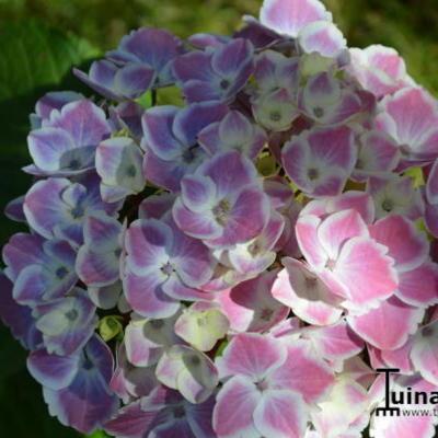 Hydrangea macrophylla 'Frau Yoshimi' -