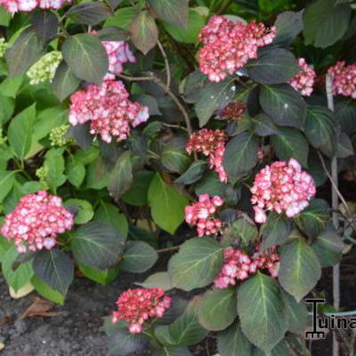 Hydrangea macrophylla 'Ripple' -