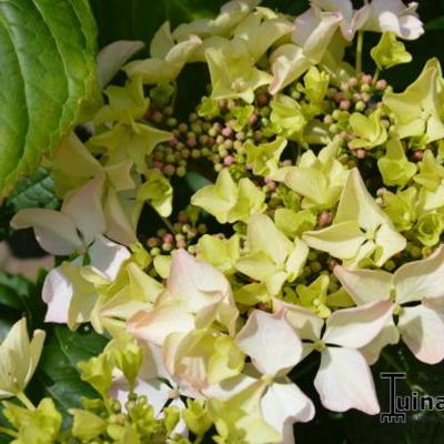 Hydrangea macrophylla 'Great Other' -