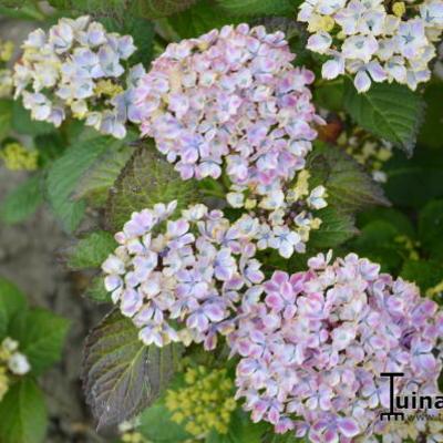 Hydrangea macrophylla 'Frau Taiko'  -