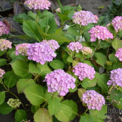 Hydrangea macrophylla 'Hamburg' -