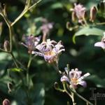 Tricyrtis - Tricyrtis - Paddenlelie / armeluisorchidee