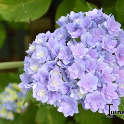 Hydrangea macrophylla 'Together' -