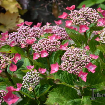 Hydrangea macrophylla 'Kardinal' -