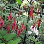 Fuchsia magellanica - Bellenplant - Fuchsia magellanica
