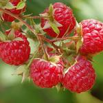Herfstframboos - Rubus idaeus 'Autumn Bliss'