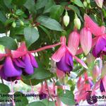 Fuchsia 'Leeuw van Vlaanderen' -