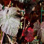Vitis coignetiae - Japanse wijnstok, Sierwingerd - Vitis coignetiae