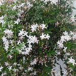 Jasminum officinale - Jasminum officinale - Gewone jasmijn