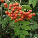 Sorbus aucuparia - Sorbus aucuparia - Lijsterbes