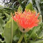 Scadoxus multiflorus subsp. katharinae - Scadoxus multiflorus subsp. katharinae - Poederkwast, Afrikaanse bloedlelie, Penseellelie