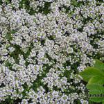 Kruiptijm - Thymus praecox 'Vey'