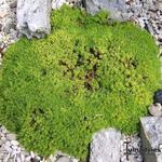 Silene acaulis 'Mount Snowdon' - Silene acaulis 'Mount Snowdon' - Alpenlijmkruid