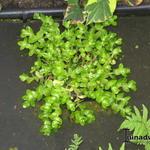 Waterhyssop - Bacopa caroliniana