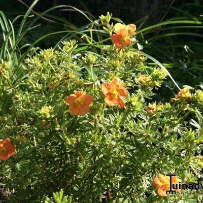 Potentilla fruticosa 'Red Ace' -