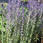 Russische salie - Perovskia atriplicifolia' 'Little Spire'
