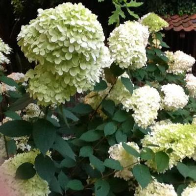Hydrangea paniculata 'Limelight' - Pluimhortensia - Hydrangea paniculata 'Limelight'