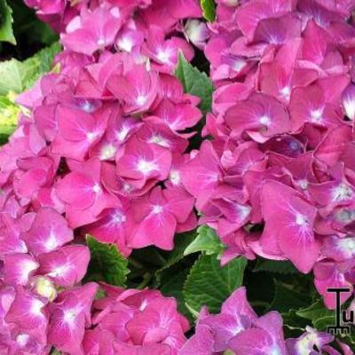 Hydrangea macrophylla 'Hot Red Violet' -
