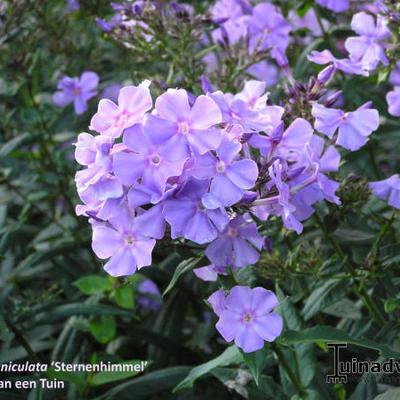 Phlox paniculata 'Sternhimmel' -