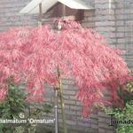 Acer palmatum 'Ornatum' - Japanse esdoorn - Acer palmatum 'Ornatum'