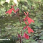 Waterlobelia - Lobelia cardinalis