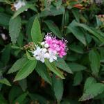 Spiraea japonica 'Genpei' - Spierstruik, spirea - Spiraea japonica 'Genpei'